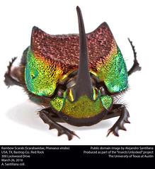 Rainbow Scarab (Scarabaeidae, Phanaeus vindex) (insectsunlocked) Tags: coleoptera scarabaeidae phanaeusvindex rainbowscarab scarabaeinae phanaeus pvindex