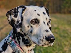 Shisana (jens.steinbeisser) Tags: portrait dog germany deutschland hund haustier draussen niedersachsen dalmatiner lightzone olympusepl3 m42objektive