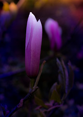 welcome to this amazing world... (dtapkir) Tags: pink flower london nature colors beauty nikon shine 85mm d750