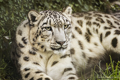 Snow Queen (Daniel Santom Gallego) Tags: snow portugal animal animals mammal zoo feline felinos felino felines animales mammals pantera mamfero mamferos zoosantoincio