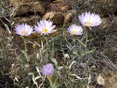 mojave aster (h willome) Tags: california desert hiking joshuatree wildflowers joshuatreenationalpark 2016 cottonwoodsprings