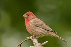 House Finch (AVo Images) Tags: bird wildlife finch housefinch