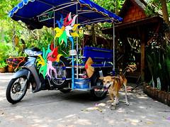 ,, Mr Tri-Pod ,, (Jon in Thailand) Tags: street pink blue trees red orange dog green smile yellow honda temple nikon teal tripod scooter jungle nikkor broom sidecar k9 d300 happydog 175528 mrtripod abandonedabusedstreetdogs streetphotographyjunglestyle