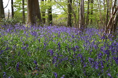 Bluebells (roger_forster) Tags: wood trees bluebells outdoors spring hampshire winchester beech micheldever hyacinthoidesnonscripta