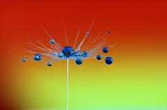 blue (Lorraine1234) Tags: blue macro droplets drops dandelion