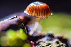 Mushroom (belindahowell00) Tags: macro nature mushroom forest australian falls bushwalking fungus finds curtis