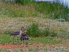 Barges  queue noire . (PACHA23) Tags: bird fauna wildlife aves barge oiseau faune bassindarcachon grandlimicole
