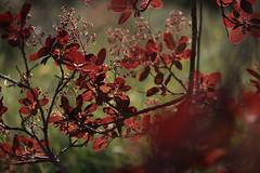 Qu'est-ce qui fait rougir le printemps ? (Emmanuelle2Aime2Ailes) Tags: rouge bokeh arbre feuilles cotinuspourpre