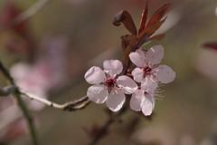 Cerezo (Ru GarFer) Tags: parque primavera natural flor aia guipzcoa gipuzkoa cerezo pagoeta