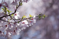 sakura (kenta_sawada6469) Tags: pink flowers plants white plant flower nature colors japan cherry spring cherryblossom sakura