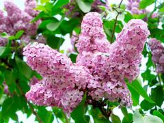 (Alin B.) Tags: flower nature spring lilac april scent aprilie primavara liliac alinbrotea