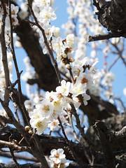 16i5124 (kimagurenote) Tags: apricot ume  japaneseapricot  prunusmume sogabairin   odawarakanagawa
