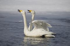 Japan (richard.mcmanus.) Tags: winter bird animal japan hokkaido wildlife swans gettyimages whooperswans lakekussharo