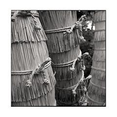 straw  kyoto, kansai  2015 (lem's) Tags: japan rolleiflex garden kyoto jardin straw kansai japon planar paille
