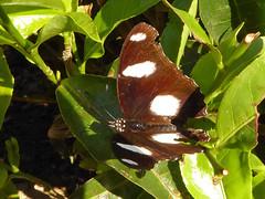 Dotty (Jackie & Dennis) Tags: butterfly kerala munnar rwh ramblersworldwideholidays lakshmihills