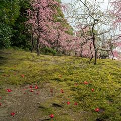 20160229-105640_5K_80 (pya) Tags: kyoto 京都 camellia plumblossoms jonangu 梅花 茶花 城南宮 椿花 weepingplumblossoms