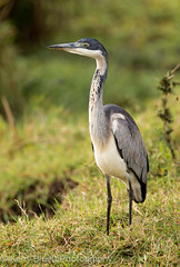 Black-Headed Heron (Ardea Melanocephala) (KerryBluett) Tags: heron birds canon kenya masaimara kicheche 5dmkiii kenyanbirds maranorthconservancy 300f28mkii