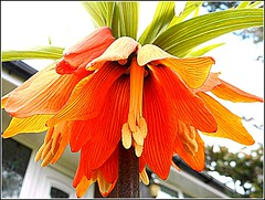 Fritillaria Imperialis ,,, (** Janets Photos **) Tags: uk plants flora colours closeups fritillariaimperialis crownimperial kaiserkrone
