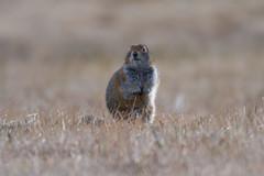 The ground squirrel emergeth (Explored) (frostnip907) Tags: alaska spring groundsquirrel
