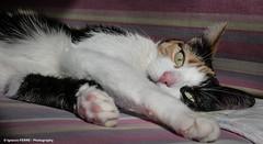 Yumi (Ignacio Ferre) Tags: pet cat mammal gato felino felines mascota felid mamfero felidae feliscatus felids gatocomn