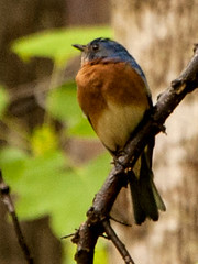 Resident Bluebird (1) (tommaync) Tags: blue trees usa brown white bird nature animal nc nikon wildlife beak northcarolina april bluebird pittsboro chathamcounty 2016 d40