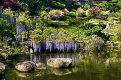 A moment to reflect (PeterThoeny) Tags: california park flower nature water rock japan stone garden japanesegarden pond bush raw outdoor saratoga bloom serene hdr wisteria waterreflection hakonegardens photomatix fav200 1xp nex6 sel50f18