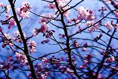 Cherry blossom (Victor Muruet) Tags: victormuruetphotography fotografíavíctormuruet nuevayork newyork lagranmanzana thebigapple victormuruetvíctormuruetmuruetnewyorknew yorknuevayorknuave yorkgranmanzanabig applebigapplegran manzanacityciudad