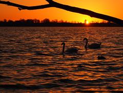 When the night comes .... (Ostseeleuchte) Tags: sunset germany sonnenuntergang swans schwne happyweekend abendlicht goldenwater ostseeleuchte april2016