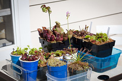my little outdoor collection (phant0mv87) Tags: plants macro canon usm carnivorous mkii 10028 5d2