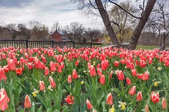 Tulip report from Ottawa: They are out! (beyondhue) Tags: pink red ontario canada spring boulevard quebec ottawa tulip gatineau bloom tache 2016 beyondhue
