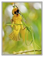 The art of weaving - Black Headed Weaver bird (Crested Aperture Photography) Tags: birds aves greatlakes uganda ug oiseaux eastafrica centralafrica blackheadedweaverbird