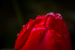 this is april... (Nitroklaus) Tags: red sun snow water melting dof drop tulip april droplet
