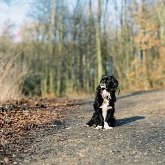 what? (nils_karlson) Tags: dog chien colour 120 mamiya film mediumformat germany landscape fuji ishootfilm 120film perro hund rz67 colournegative c41 400h 110mm mamiyarz67 fujipro400h pro400h carlzeissbiometar80mm ukfilmlab ukfl rudigerthelandscapedog rdigerthelandscapedog