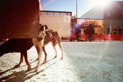 Porst SP Fairbanks Sled Dog Race 8 () Tags: winter dog snow alaska race fur sale sled fairbanks trapper 2014