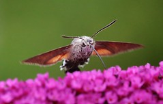 Humming-bird Hawk-moth (Hugo von Schreck) Tags: macro butterfly insect moth makro insekt schmetterling givemefive motte hummingbirdhawkmoth macroglossumstellatarum taubenschwnzchen tamronspaf180mmf35dildifmacro11 canoneos5dmarkiii onlythebestofnature hugovonschreck