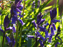 Bluebells (mark.griffin52) Tags: england flower nature buckinghamshire wildflower bluebell coombehill olympusem5