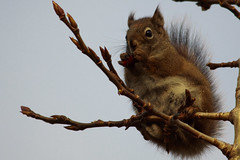 Red Squirrel on a Branch (blkwolf1017) Tags: alaska spring squirrel redsquirrel denalinationalpark canon50d sigma150500mm