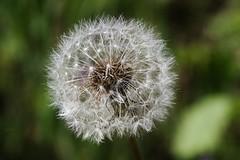 Lwenzahn - dandelion (Hugo von Schreck) Tags: flower macro dandelion blume makro lwenzahn pusteblume blowball givemefive f13 tamron28300mmf3563divcpzda010 canoneos5dsr hugovonschreck