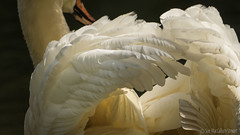 Feathers (Sue MacCallum-Stewart) Tags: white bird nature sussex swan wildlife feathers barcombemills