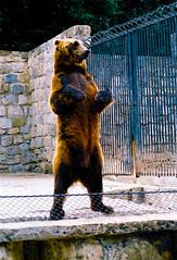 Urso | Bear | Ours | Orso | Oso |  (Antnio Jos Rocha) Tags: portugal animal zoo lisboa castanho jardim zoolgico cor urso selvagem zoodelisboa dep