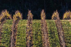 Rollercoaster (red snapper 205) Tags: autumn green fall vineyard vines wine row symmetry trellis explore parallel grape grapevine adelaidehills