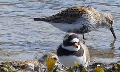 Have you seen my waders? (robbie20161) Tags: sea birds coast countryside outdoor wildlife estuary seashore pembrokeshire dunlin calidrisalpina ringedplover charadriushiaticula springnewport
