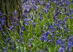 Bluebell wood (Sue1585) Tags: blue flower spring nationaltrust bluebell ashridge dockeywood