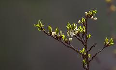 Lgret arienne (mrieffly) Tags: canoneos50d printempsvosges 100400issriel