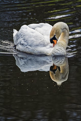 Double Grace (Alfred Grupstra Photography) Tags: reflection water swan nederland nl noordholland wervershoof