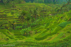 Valley of Green (Sound Quality) Tags: travel bali green rain forest indonesia asia rice terrace terraces palm palmtrees jungle ubud baliindonesia tagalalang wwwmichaelwashingtonaecomhttpwwwflickrcomphotosmichaelwashingtonphotography tagalallang
