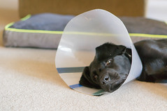DSC02098.jpg (cadillacjr2002) Tags: dog labrador clancy