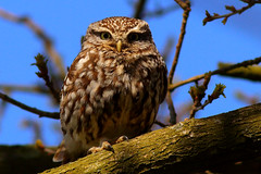 May Day Owl (jammo s) Tags: tree bird nature sunshine spring wildlife owl birdofprey littleowl athenenoctua canonef400mmf56lusm canoneos80d