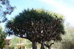 DSC_3920 Dracaena draco, the Canary Islands dragon tree, 10 Thomas Street, Unley, South Australia (johnjennings995) Tags: tree dragon australia southaustralia canaryislands dracaena dracaenadraco unley dragonbloodtree