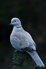 Collared Dove (42jph) Tags: uk england bird nature nikon dove wildlife sigma northumberland collared 150500 d7200